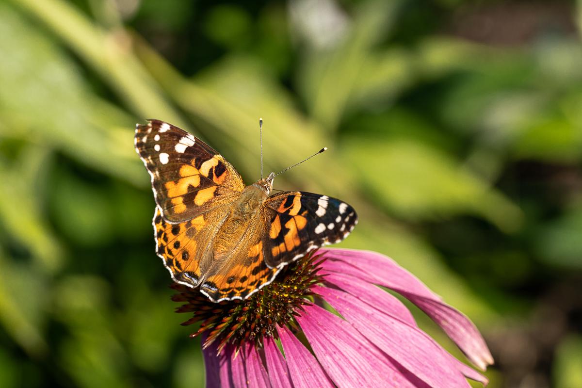 Papillon Belle-Dame ou Vanesse des chardons, Vanessa cardui