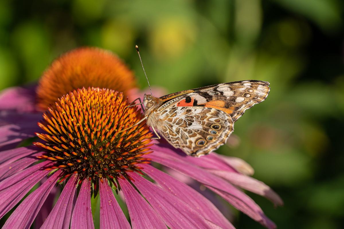 Papillon Belle-Dame ou Vanesse des chardons, Vanessa cardui  1908_0332